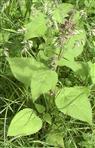 Waldziest(Stachys sylvatica(L.)) 1