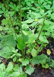 Breitwegerich(Plantago major(L.))
