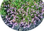 Breitblättriger Thymian(Thymus pulegioides(L.))