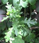Gewöhnliches oder gemeines Greiskraut(Senecio vulgaris(L.))