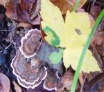 Schnetterlingstramete(Trametes versicolor(L. , Fr.) Lloyd)