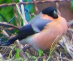 Gimpel(Pyrrhula pyrrula(L. 1758)) Männchen