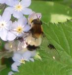 Schwebfliege(Leucozonia lucorum)
