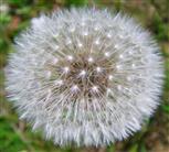 Pusteblume(Löwenzahn)(Taraxacum officinale)