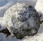 Buchenkrebs(Verursacher Schlauchpilz Nectria ditissima)