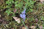 Zweiblättriger Blaustern(Scilla bifolia(L.)) aufblühend