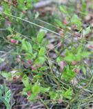 Heidelbeeren(Vaccinium myrtillus(L.)) benötigen noch Reife