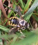 Große oder Garten-Wollbiene(Anthidium manicatum(L. 1758))