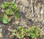 Garten-Wolfsmilch(Euphorbia peplus(L.))