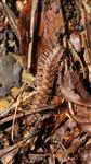 Rotbrauner Bandfüßer(Polydesmus angustus)