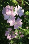 Rosen-Malve(Malva alcea(L.))