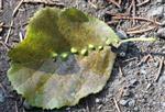 Gallen einer Gallmilbe(Eriophyes inangulis) an Erle