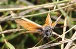 Braunkolbiger oder ockergelber Braun-Dickkopffalter(Thymelicus sylvestris(Poda 1761))