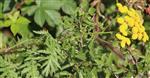 Rainfarn(Tanacetum vulgare(L.))