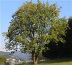 Vogelbeere oder Eberesche(Sorbus aucuparia(L.))