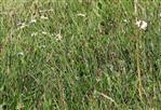 Magerwiesen-Magerite bzw. Wiesenwucherblume(Leucanthemum vulgare(Lam.))