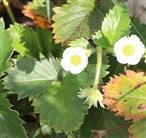 Blüten einer Garten-, Ananas- oder Kulturerdbeere(Fragaria x ananassa bzw. Fragaria magna)