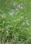 Borretsch(Borago officinalis(L.))