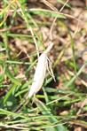 Zünsler(Agriphila vermutlich straminella)