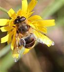 Mistbiene(Eristalis tenax(L. 1758)) weiblich