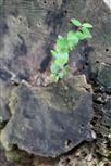 Gewöhnliche Zwergmispel(Cotoneaster integerrimus(Medik.)) auf einem Stumpf einer gemeinen Kiefer(Pinus sylvestris(L.)) - ein Beispiel etwa für nachhaltige Verwertung?