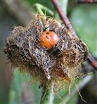 Hagebutte eingebettet in einen Schlafapfel(Galle der Schlafapfel-Gallwespe(Diplolepis rosae))