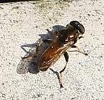 Gemeine Langbauchschwebfliege(Xylota segnis) männlich