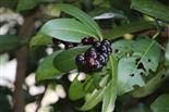 Früchte des Kirschlorbeers(Prunus laurocerasus (L.))