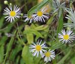 Feinstrahl(Erigeron annuus(L.) Pers.)