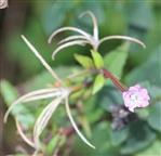 Berg-Weidenröschen(Epilobium montanum(L.))