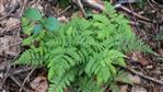 [Streifenfarn(Asplenium)] sowie Eichenfarn(Gymnocarpium dryopteris(L.)Newman)