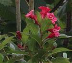 Blüten einer Weigelie(