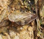 Wiesenschaumzikade(Philaenus spumarius(L.)) 1