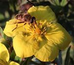 Mistbiene(Eristalis tenax(L. 1758)) auf Fingerstrauch(Potentilla(=Dasiphora) fruticosa(L.))