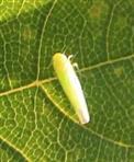 Rosenzikade(Typhlocyba rosae)