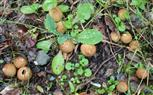 Junge Flaschen-Stäublinge(Lycoperdon perlatum(Pers.))