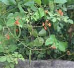 Feuerbohne(Phaseolus coccineus(L.))