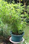 Paprika(Capsicum(L.))