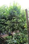 Limetten-Zitronenbaum(Citrus × indet.)