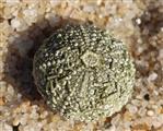 Stein-Seeigel(Paracentrotus lividus(Lamarck 1816))