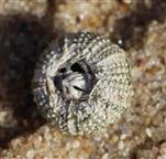 Unterseite des Stein-Seeigels(Paracentrotus lividus(Lamarck 1816)) mit der