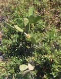 Opuntie(Opuntia)