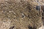 Gemeine Napfschnecken(Platella vulgaris) sowie Gemeine Seepocken(Semibalanus balanoides)
