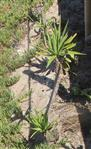 Yuccapalme in der Nähe einer Strandpromenade