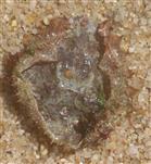 Unterseite des Rückenpanzers einer Dreieckskrabbe(Maja)