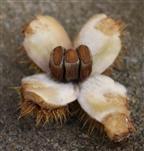 Nussfrüchte einer Edelkastanie(Castanea sativa(Mill.))