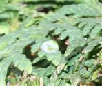 Tautropfen auf einer Scheinzypresse(Chamaecyperus indet.(Spach))