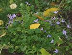 Kriechende Sternglockenblume(Campanula poscharskyana)