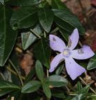 Kleines Immergrün(Vinca minor(L.))