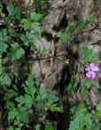 Blüte des Stinkenden Storchschnabels, Ruprechtskraut(Geranium robertianum(L.))